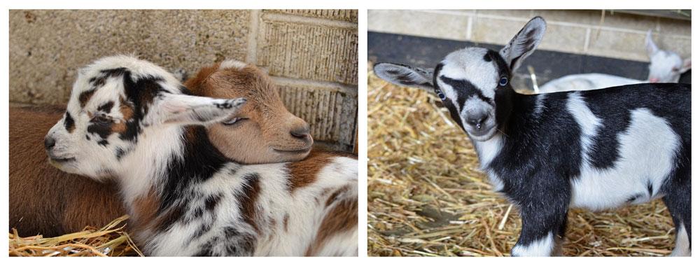 Baby Goats at Broken Shovels Farm
