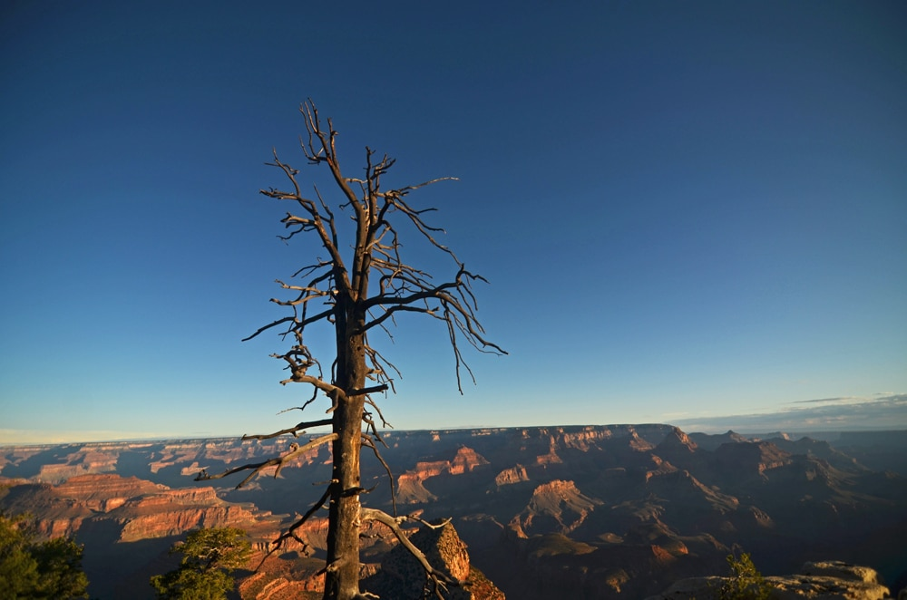 Dead Tree in the rocks with a bright blue sky at the Grand Canyon
