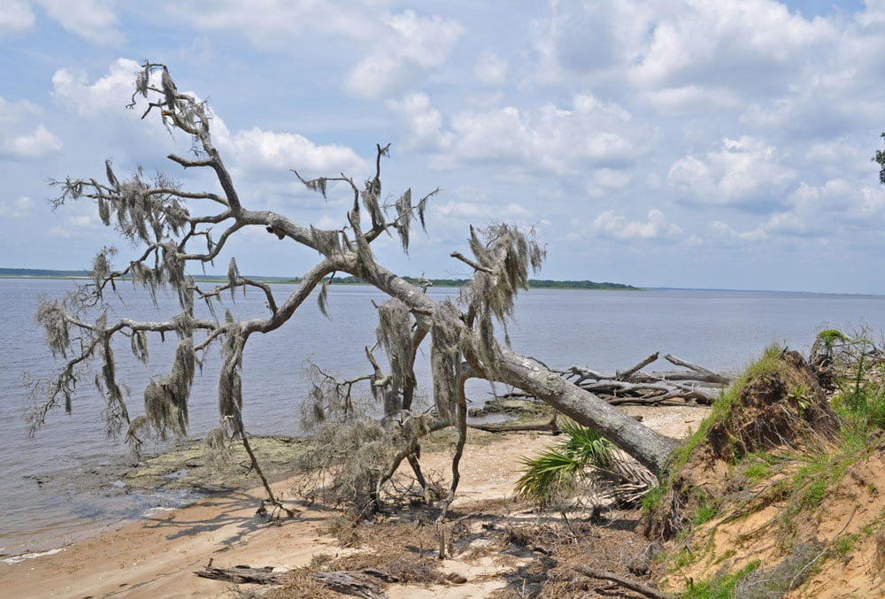 Dead tree that is falling into the ocean next to the shore on Cumberland Island.