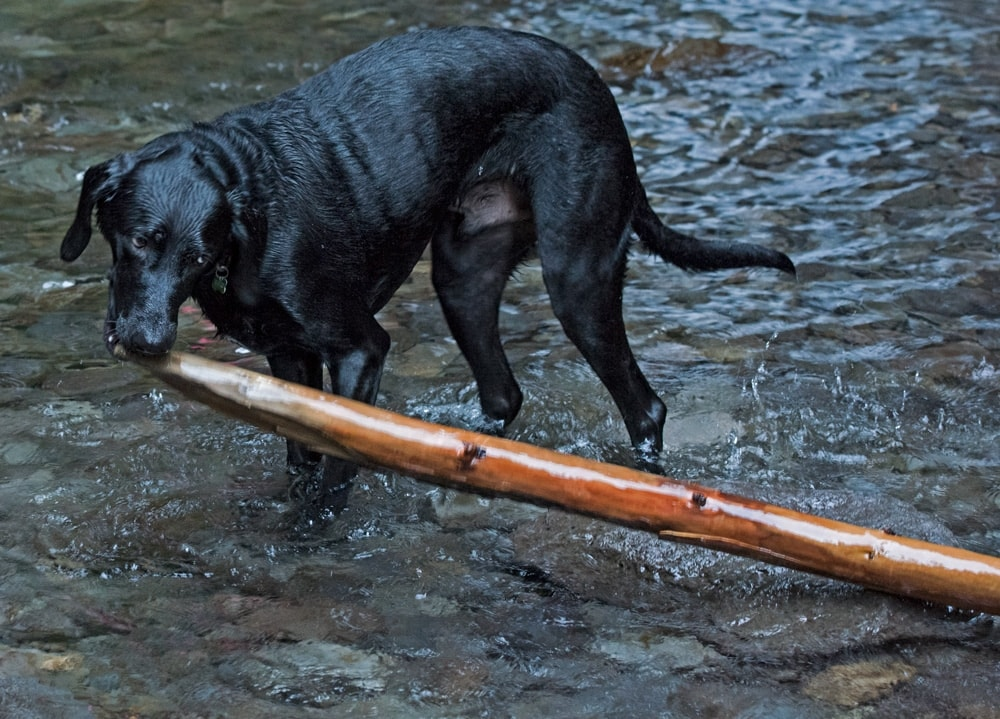 Dog carrying large stick through the river on our hike in lower oneonta gorge
