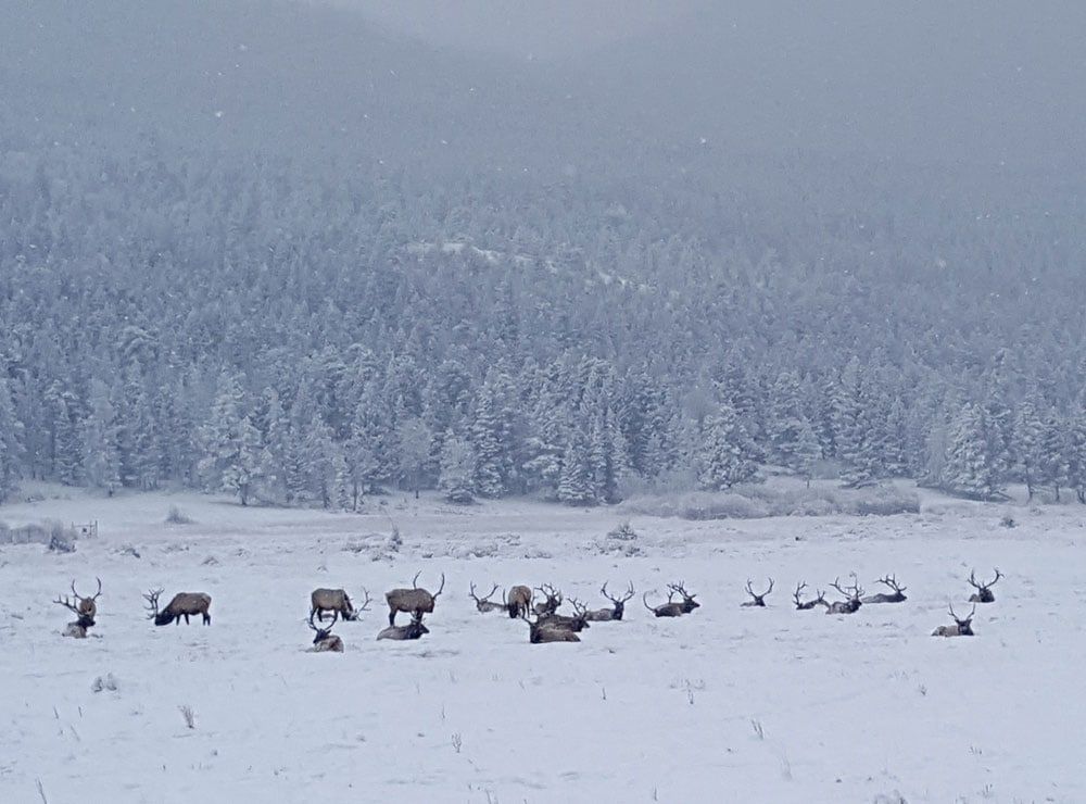 Elk in the snow covered field shortly after entering Rocky Mountain National Park