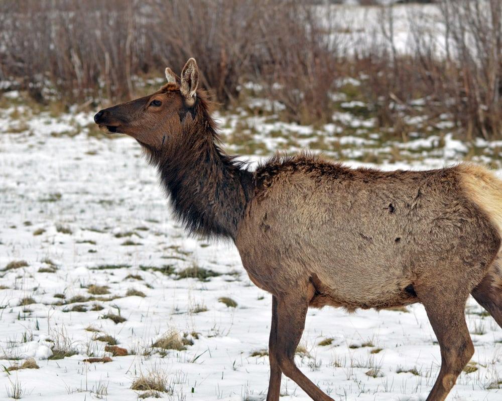 Mule Deer walking through the snow in Estes Park