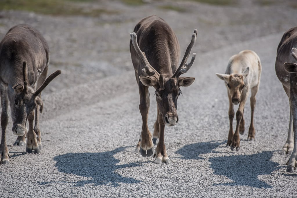 Caribou, and a baby, walking down the road on our way out from visiting Point Riche Lighthouse, what an unexpected treat