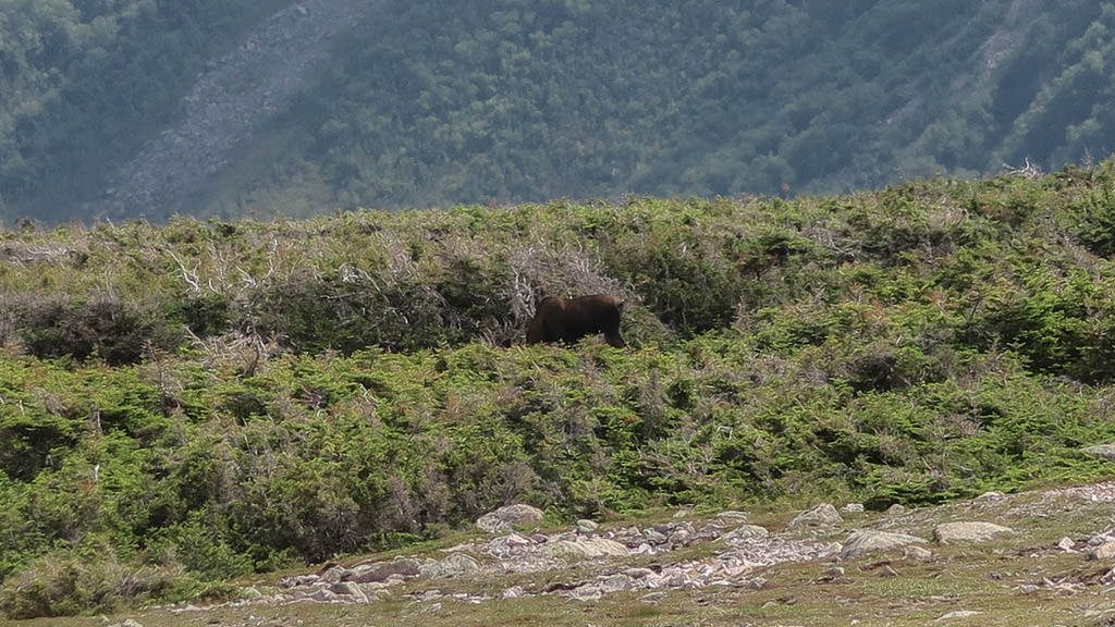 Moose grazing in the tall grass in Gros Morne National Park
