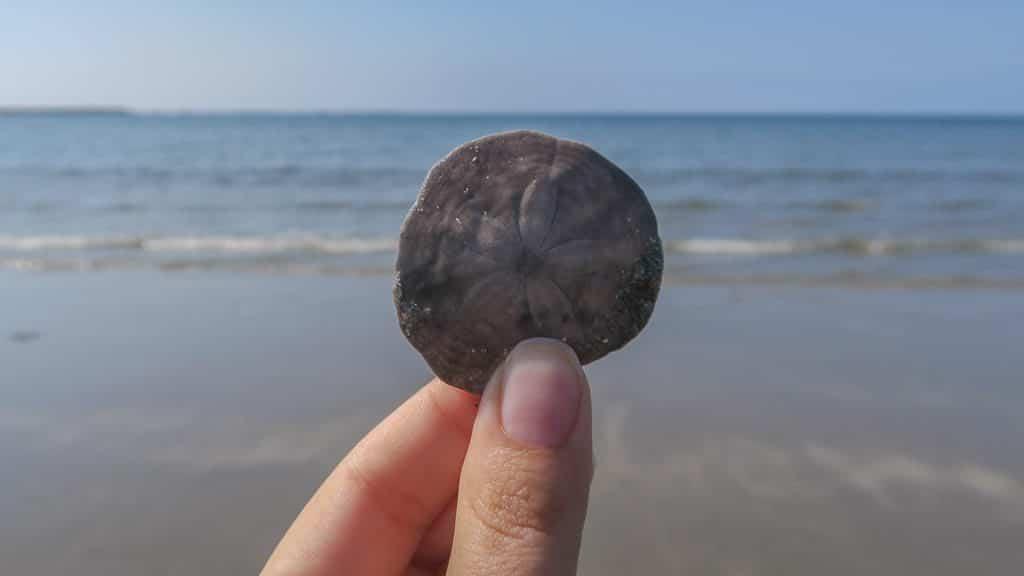 Sand dollar Brooke found while walking down Shallow Bay
