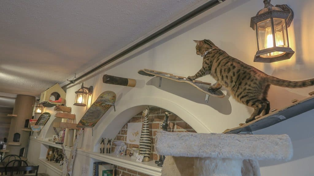 Leopard spotted cat climbing through the wall bridges made for them at the Cat Cafe in Quebec City