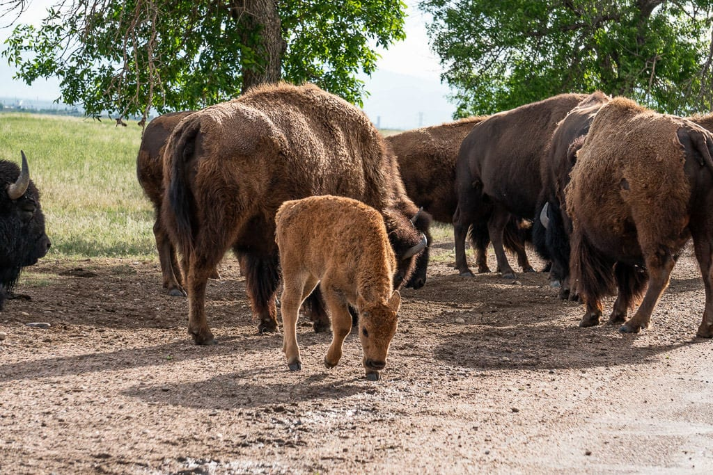 baby bison in heard of bison at rocky mountain aresnal