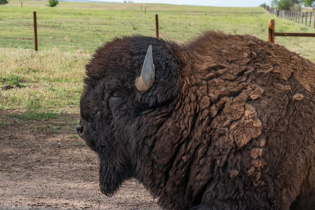 close up of bison in rocky mountain arsenal