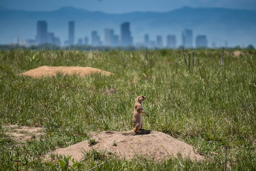 Prairie Dog in rocky mountain arsenal with Downtown Denver cityscape