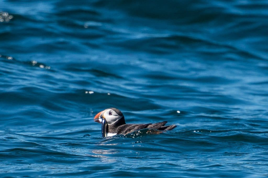 Puffin with fish in its mouth sitting atop the water