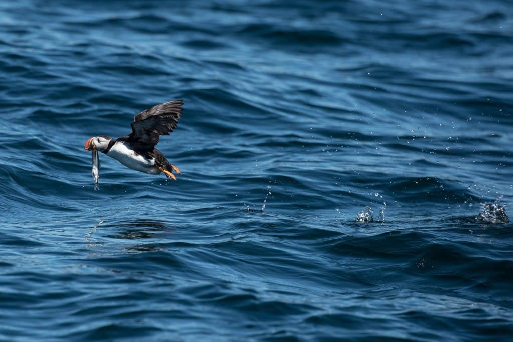 Fish dangling out of a puffins mouth as it tries to fly away from a Seagull
