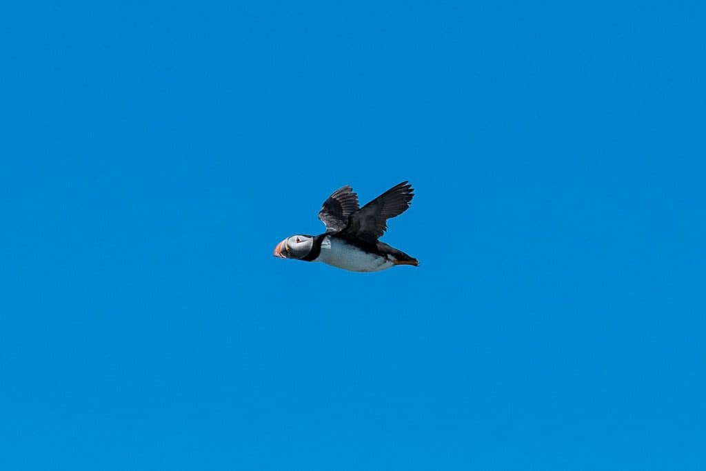 Puffin flying through the air on our Puffin Tour in Newfoundland