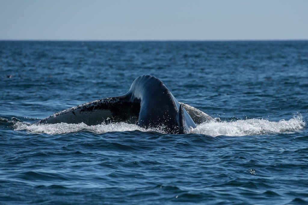 Humpback Whale Tail on our Newfoundland Tour