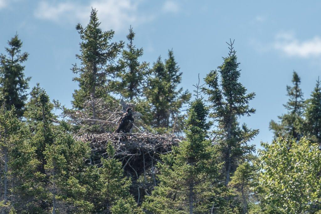 Bald Eagle perched atop it's nest in Terra Nova National Park