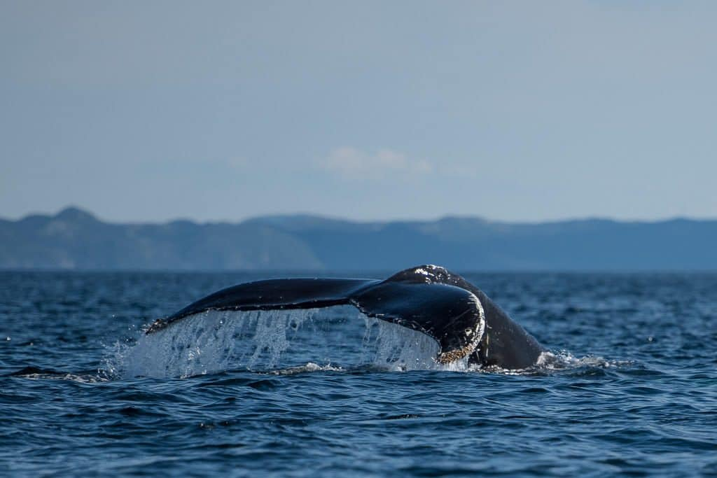 Humpback whale tale in the air with mountains off in the distance