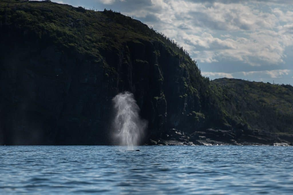 Humpback whale blowing as it reaches the top of the water, with huge cliffs in the background