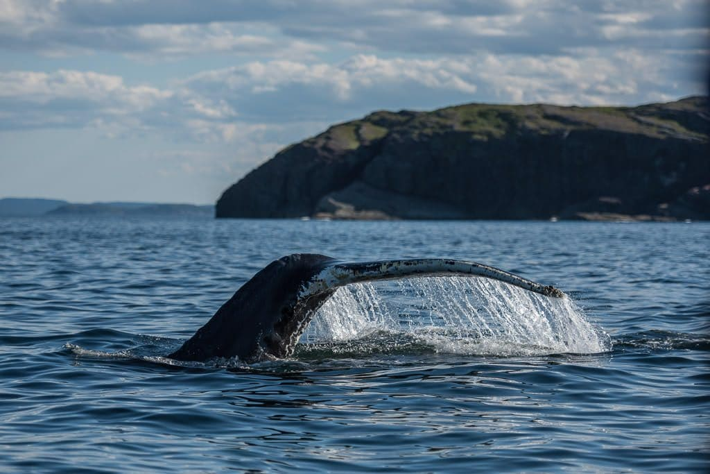 Humpback whale tale in the air as the beautiful creature dives to the depths