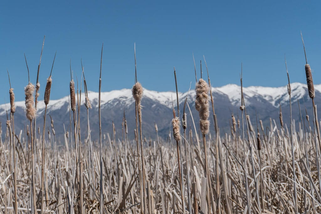 Some reeds with snow-topped mountains in the background at Great Salt Lake Shorelands Preserve