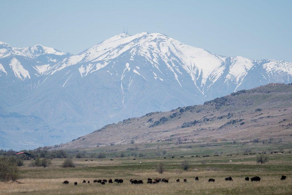Large Bison heard at Antelope Island State Park