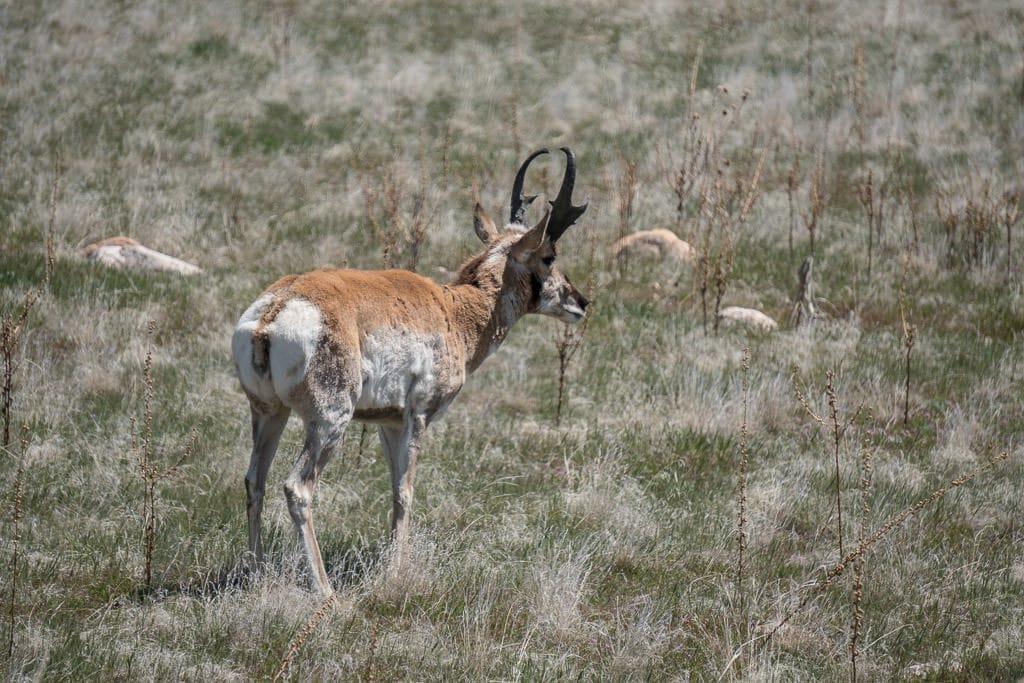 An antelope in Antelope Island State Park