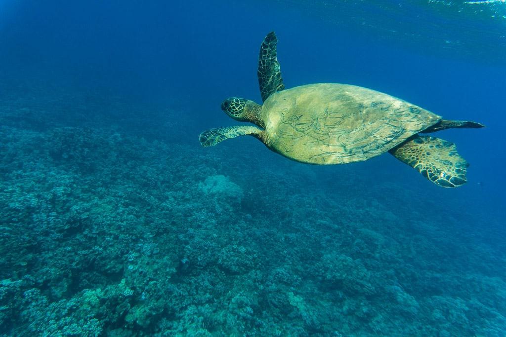 Hawaiian Green Sea Turtle while snorkeling in molokai with Molokai Fish and Dive