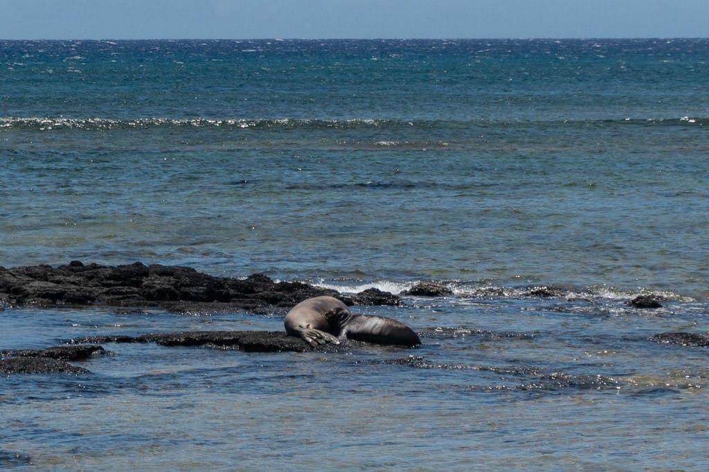 monk seals at Kalaupapa Molokai during our kalaupapa tour