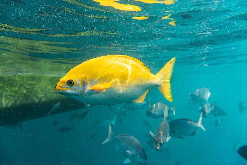 yellow fish by boat off na pali coast