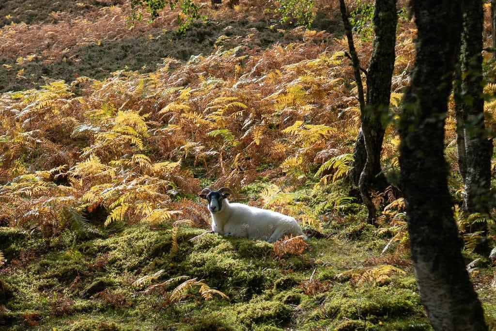sheep in scottish highlands near loch ness in inverness, scotland