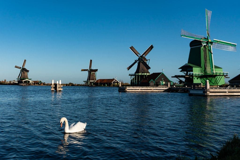 windmills and swan in zaanse shans on day trip from amsterdam
