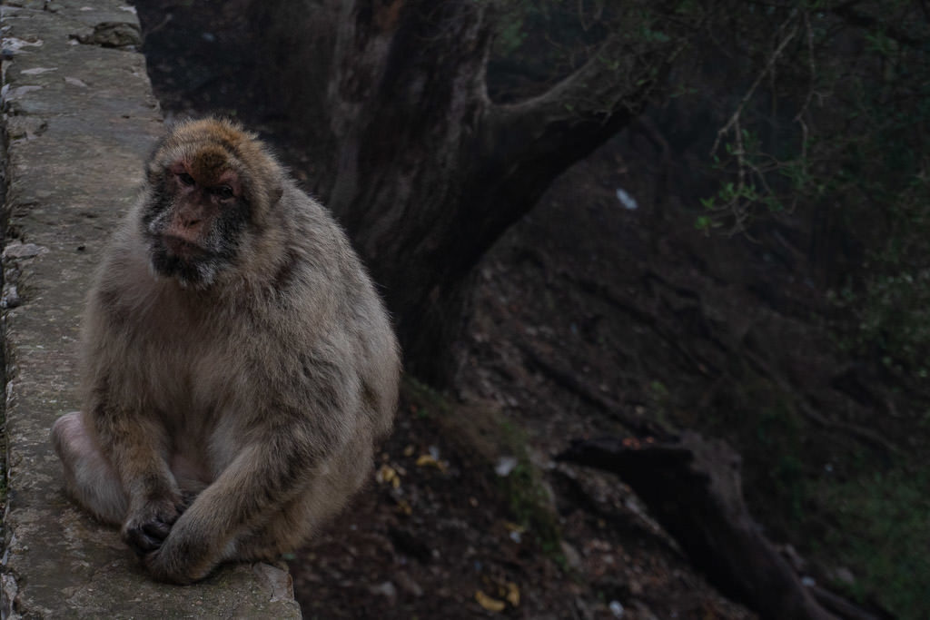 big Barbary Macaques monkey in gibraltar