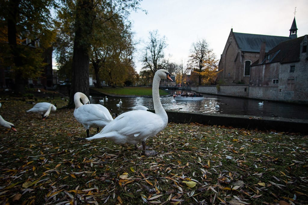 swans in downtown bruges belgium by canal
