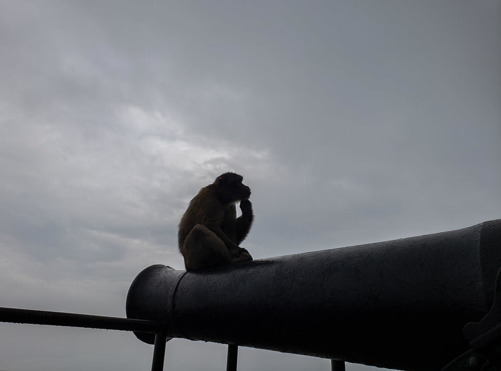 Barbary Macaques monkey in gibraltar on cannon