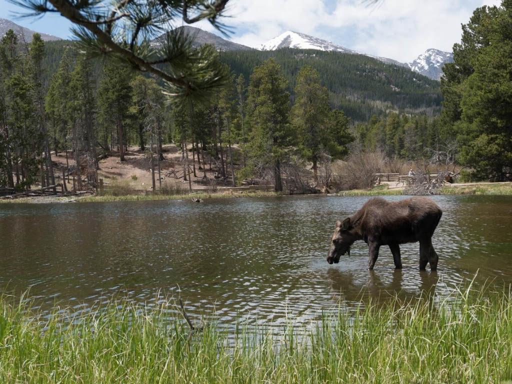 moose rocky mountain national park