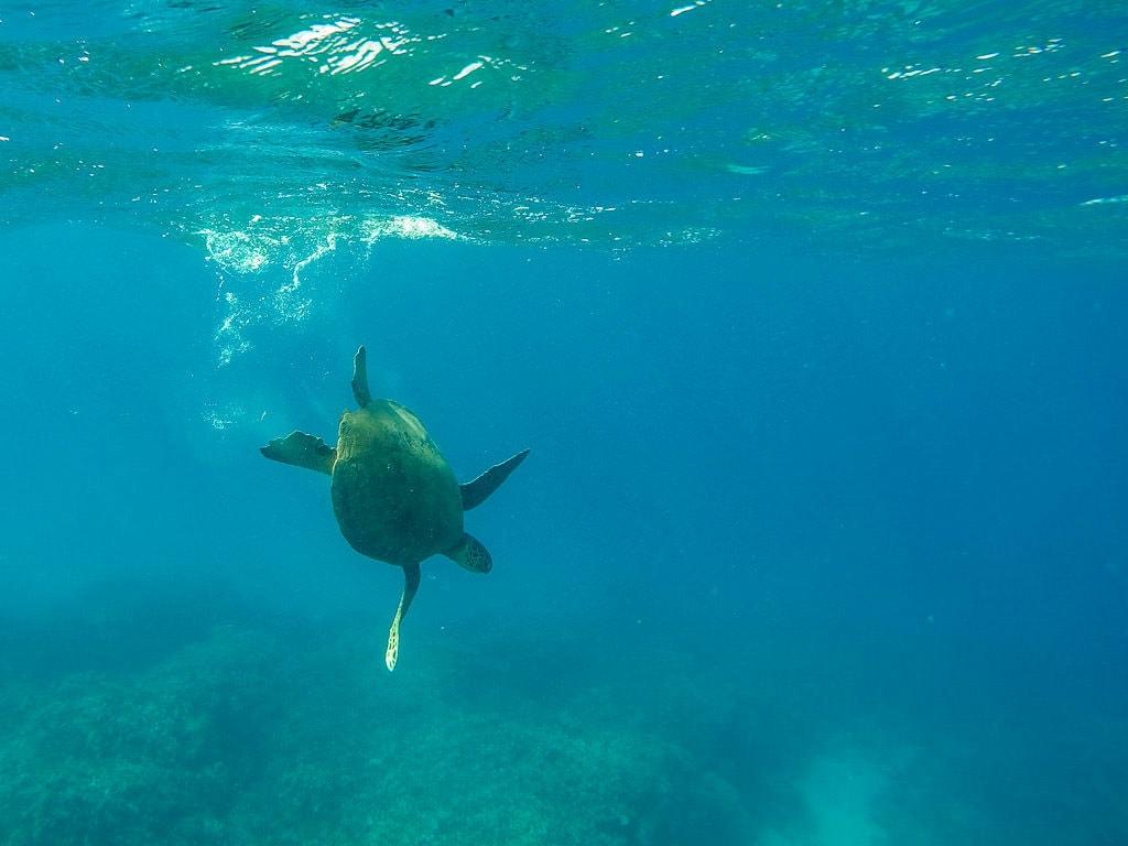 Hawaiian Green Sea Turtle in molokai