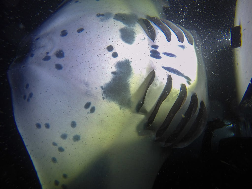 Underbelly of a kona manta ray showing the different spotting and coloration