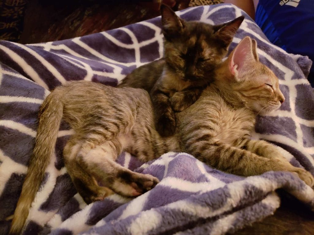 kittens snuggling during cat sitting in colorado