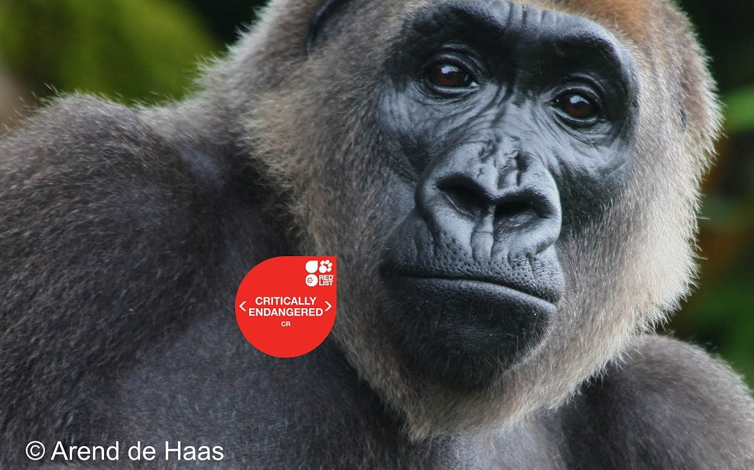 New National Park Opens In Cameroon To Protect Endangered Cross River Gorilla