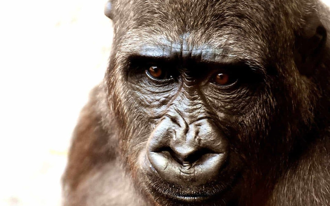 Nigeria: Cooperation, education and enforcement key to Cross River gorilla survival