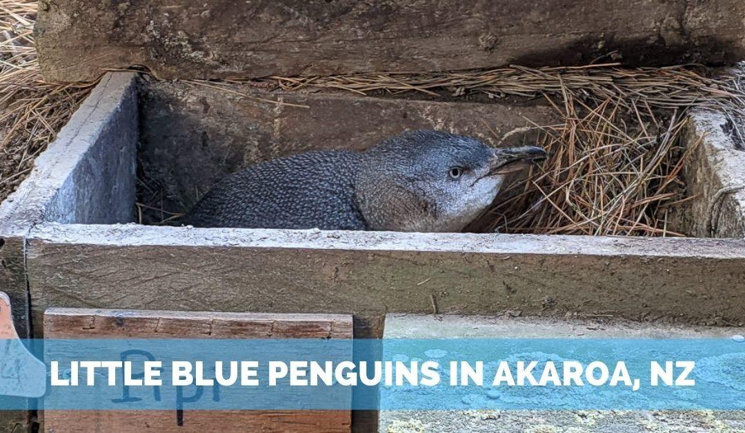 Unforgettable Little Blue Penguins Tour in Akaroa