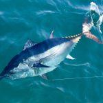 Bluefin Tuna in Water