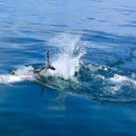 Tuna Splashing in Water