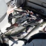 Fishing in Massachusetts Striped Bass and Sea Bass