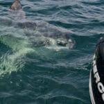 Cape Cod Ocean Sunfish Mola Mola