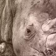 A rhino calf