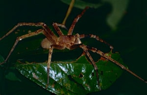 интересные факты о Бразильском странствующем пауке