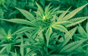 Did Marijuana Legalization Have Benefits or Cause Problems?