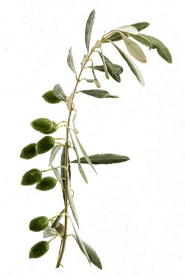 Rama de olivo con aceitunas verdes