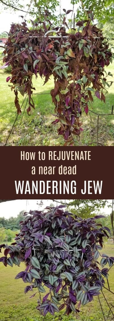 A near dead Wandering Jew and the same plant after rejuvenation!