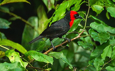 Threatened bird thought to exist only in Nigeria and Ghana discovered in Cameroon