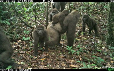 Group of rare Cross River gorillas with babies caught on camera in Nigeria